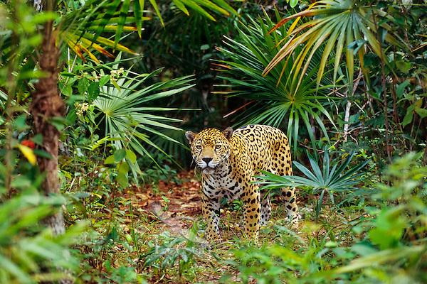 Jaguar (Panthera onca).  Central American tropical rainforest.