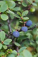 Rauschbeere, Rausch-Beere, Moorbeere, Trunkelbeere, Früchte, Vaccinium uliginosum, Bog Bilberry, Bog Wortleberry, bog blueberry, northern bilberry, western blueberry, La myrtille des marais