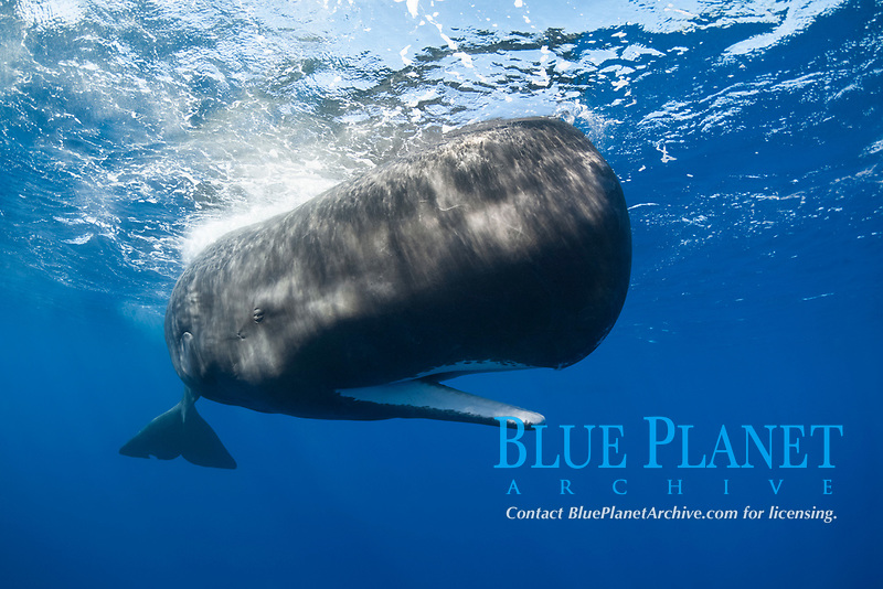 sperm whale, Physeter macrocephalus, with mouth open, Dominica, Caribbean Sea, Atlantic Ocean