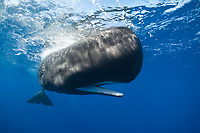 sperm whale, Physeter macrocephalus, with mouth open, Dominica, Caribbean Sea, Atlantic Ocean
