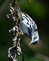 Adult male black and white warbler in breeding plumage
