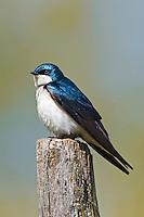 Tree Swallow (Tachycineta bicolor) common in any woodland habitat near water.  Will use nesting boxes.  Spring. Mountsberg Conservation Area, Campbellville, Ontario. Niiagara Escaprpment. Canada.