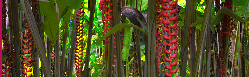 Hawaii Tropical Botanical Gardens. Heliconia longissima 'Red Wings'. Hawaii, The Big Island.