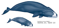 bowhead whale, Balaena mysticetus, cow and calf, illustration by the artist Wyland