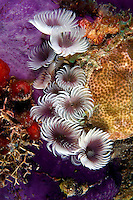 Because they reproduce asexually social feather duster worms  [Bispira brunnea] are usually found, as pictured here, in clusters.  Bahamas. segmented polychaeta sedentaria sabellidae invertebrate Caribbean