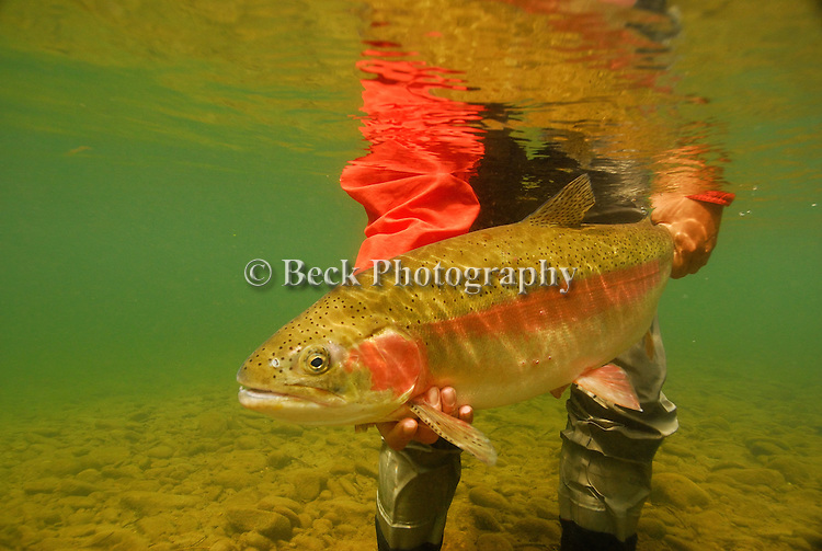 Releasing a nice Rainbow Trout