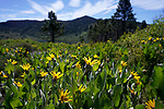 Mule's ears bloom along a trail near Markleeville, Ca., on Saturday, June 29, 2019.<br /> Photo by Cathleen Allison/Nevada Momentum