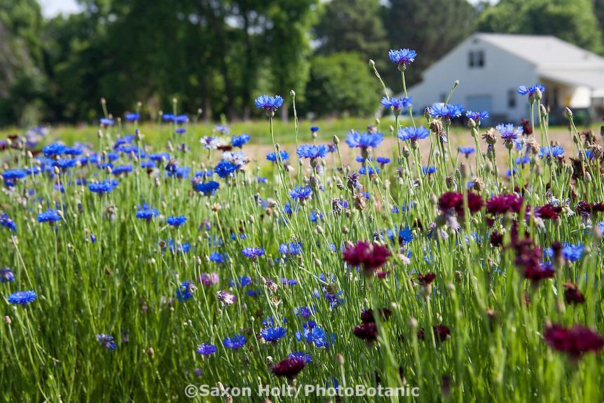 Rows of cool season hardy annual flowers (Bachelor Buttons) at heirloom flower farmer Lisa Ziegler Gardeners Workshop
