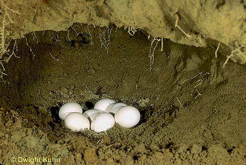 KG02-009x  Belted Kingfisher - eggs in sandpit nest - Megaceryle alcyon