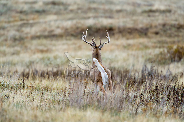 White-tailed Deer Buck (Odocoileus virginianus) signalling other deer with white flag (tail) up that an intruder is out and about.  Fall.