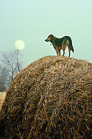 German shepard mix breed dog standing on hay bale watching over field waiting as evening falls and moon rises, Midwest USA