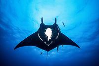 giant oceanic manta ray, Manta birostris, San Benedicto Island, Revillagigedo Archipelago, Mexico, Pacific Ocean