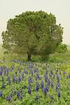 Israel, Menashe Heights, Blue Lupine flowers near Ein Meholelim