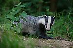 European Badger (Meles meles) foraging in deciduous woodland. June, Mid Devon, UK.