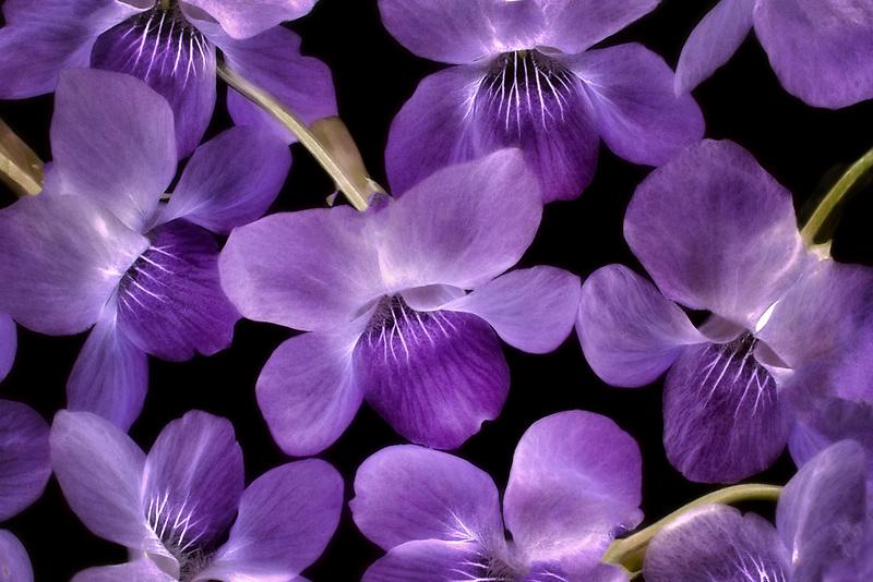 Close up of violetf wildlowers. Oregon