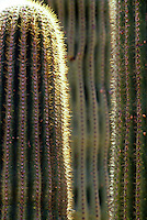 Closeup view of Saguaro cactus in the Sonoran desert.  Organ Pipe Cactus National Monument, Yuma, Arizona