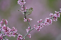 Pine Siskin (Carduelis pinus), adult perched on Eastern Redbud (Cercis canadensis), Hill Country, Central Texas, USA
