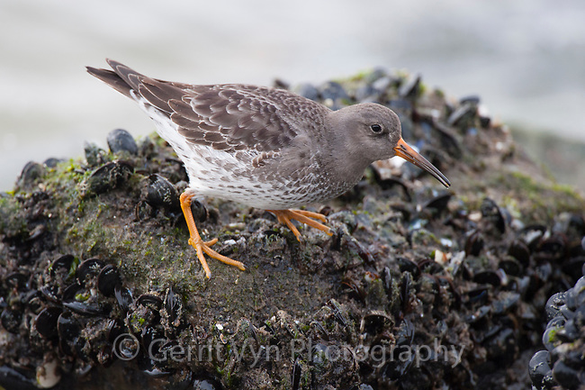 Adult Purple Sandpiper (Calidris maritima) in basic (winter) pluamge foraging on mussels in the intertidal zone. Ocean County, New Jersey. January.