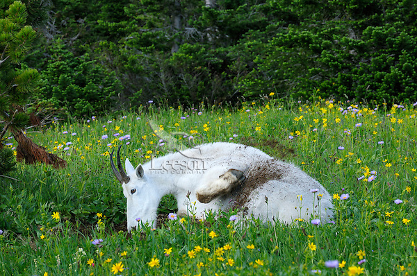 Mountain Goat (Oreamnos americanus) using dirt wallow.  Glacier National Park, Montana.  Summer.  Wallowing and throwing dirt on its fur may help control insects as well as help remove loose, itchy fur.