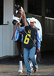 The Candidate enters the paddock for the 4th race at Churchill Downs.  November 24, 2012.