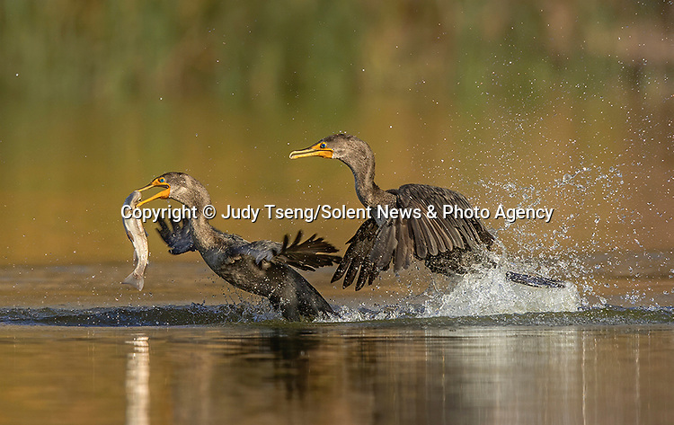 A group of cormorants fiercely battle each other for a fish.  The four birds flocked around another which had made a catch.<br /> <br /> Following the brief scuffle the victor emerged and swallowed the trout whole.  The photographs were taken at the Ed R. Levin County Park in Milpitas, California, on the West Coast of the United States.  SEE OUR COPY FOR DETAILS.<br /> <br /> Please byline: Judy Tseng/Solent News<br /> <br /> © Judy Tseng/Solent News & Photo Agency<br /> UK +44 (0) 2380 458800
