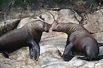 Northern sea lions, Alaska