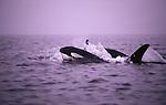Orca, San Juan Islands, Washington