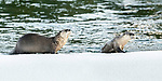 North American river otters (Lontra canadiensis)(formely Lutra canadiensis) on the frozen river edge. Upper Yellowstone River, Hayden Valley, Yellowstone, USA. January (stitched image)