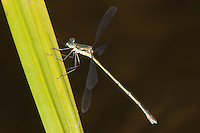 Elegant Spreadwing (Lestes inaequalis) Damselfly - Female, Promised Land State Park, Greentown, Pike County, Pennsylvania