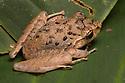 Rain Frog {Craugastor sp.} Osa Peninsula, Costa Rica. May.