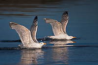 Herring  gulls at Lauvsnes, Norway