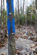 Blue trail blazing painted on hardwood tree along the Maggie's Run Trail in the White Mountains of New Hampshire