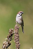 Feldspatz, Feld-Spatz, Feldsperling, Feld-Sperling, Spatz, Spatzen, Sperling, Passer montanus, tree sparrow, sparrows, Le Moineau friquet