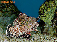 "0109-08vv  Spotted Scorpionfish ""Venomous Spines on Fish"" - Scorpaena plumieri  © David Kuhn/Dwight Kuhn Photography"
