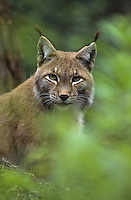 Europäischer Luchs, Portrait, Eurasischer Luchs, Nordluchs, Nord-Luchs, Felis lynx, Lynx lynx, lynx, Lynx d`Europe
