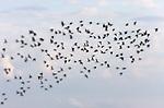Terns over Bolsa Chica State Park.