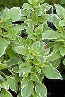 Variegated Basil Pesto Perpetuo foliage Ocimum x citriodorum