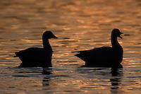 Snow Geese (Chen caerulescens) silhouettes reflected on sunset colored water