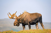 moose, Alces alces, bull with large antlers in velvet, Denali National Park, interior of, Alaska, USA