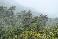 Moody native forest scene near Karamea, Kahurangi National Park, Buller Region, West Coast, New Zealand, NZ