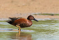 A male Cinnamon Teal, Anas cyanoptera, stands in shallow water in the Riparian Preserve at Water Ranch, Gilbert, Arizona