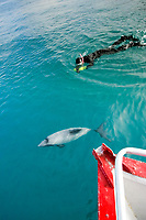 Hector's dolphin, Cephalorhynchus hectori, and snorkeler on swim-with-dolphins tour Akaroa, Banks Peninsula, South Island, New Zealand (South Pacific Ocean)