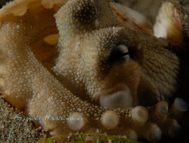 Coconut octopus,Amphioctopus marginatus, Anilao