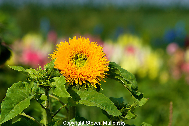 """A Teddy Bear sunflower points toward the morning sun. An attractive double-flowered ornamental with 5"""" yellow blooms on compact 3? to 4? plants."""