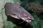 Channel Catfish swimming 45 degrees to camera