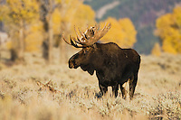 Moose (Alces alces), bull, Grand Teton NP,Wyoming, USA