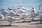 Captiva Island, Florida; a flock of Royal Tern (Thalasseus maximus) birds standing at the end of a wooden pier © Matthew Meier Photography, matthewmeierphoto.com All Rights Reserved