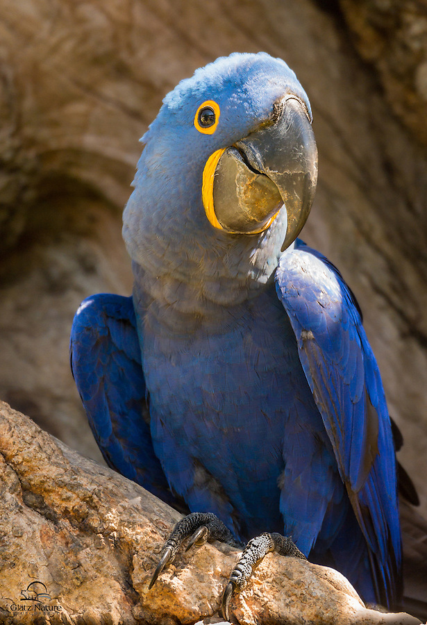 Hyacinth Macaw (Anodorhychus hyacinthinus) seems very content in front of its nest, Porto Joffre, Mato Grosso, Brazil.