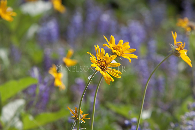 arrow leafed balsamroot and lupine flowers on mount sentinel in missoula, montana