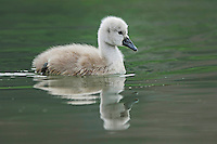 Mute Swan ( Cygnus olor),young swimming, Lake of Zug, Switzerland